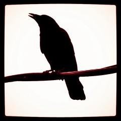 Unmistakeable Silhouette (liquidnight) Tags: camera red black birds silhouette oregon square portland wire wildlife birding powerlines squareformat urbanwildlife perch pdx crows birdwatching corvusbrachyrhynchos corvidae corvids instagram instagramapp uploaded:by=instagram