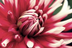 colouRED by nature (alina.) Tags: autumn white flower macro nature canon colours blossom tagged read dahlie 2011 imlazy canon550d canoneos550d blinkagain idontknowwhatdahlieisinenglishandiamtoolazytogoogleit alinacerny