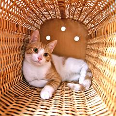 Tina (vic_206) Tags: cute mimbre cat basket gato cesta catnipaddicts
