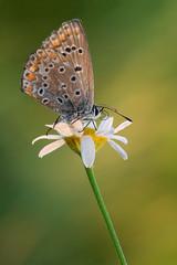 En lo alto de una flor (Macrero.) Tags: naturaleza insectos macro nature animals butterfly animales makro mariposa insets