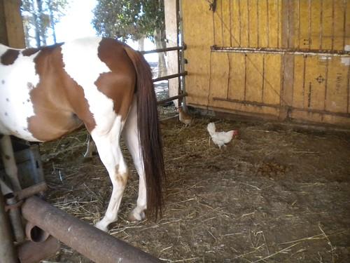 Horse & hens