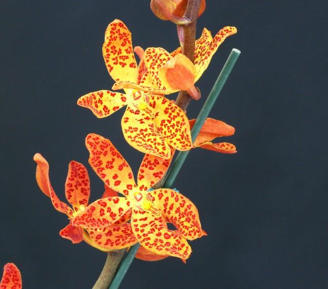 NOT Vandopsis gigantea BNOE Renanthera sp?