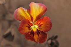 Mini Pansy On Sepia Selective Colour 002 (Chrisser) Tags: flowers ontario canada nature photoshop garden spring gardening fourseasons closeups pansies selectivecolour violaceae itsanaddiction canonefs1855mmf3556islens canoneosrebelt1i