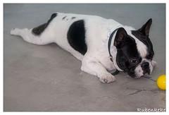 Bulldog Frances (Rubenkeke) Tags: blackandwhite espaa dog pet blancoynegro blanco animal composition relax spain retrato bulldog perro blanca amarillo frenchbulldog frances mascota isolated beautifull composicion extremadura frenchi relajarse peraleda aislada peraledadelamata desenfoquedelente