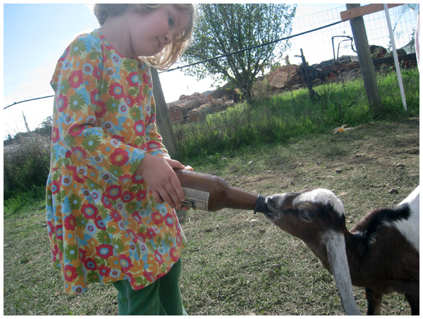 Feeding baby goat milk