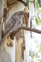 IMG_6824 (lizardstomp) Tags: owls australianbirds tawnyfrogmouths