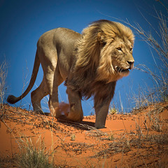 King of the Kalahari Desert (Ania.Photography - off) Tags: africa travel animals cat canon southafrica nationalpark bravo power desert leo wildlife dunes lion explore 7d predator frontpage kalahari impressive fearless noahsark photographia bej specanimal animalkingdomelite kgalagaditransfrontier
