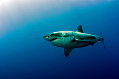 GWS5Oct26-11 (divindk) Tags: shark diving greatwhiteshark cagediving guadalupeisland diverdoug