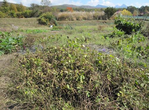 収穫前の落花生 2011年10月24日12:22 by Poran111