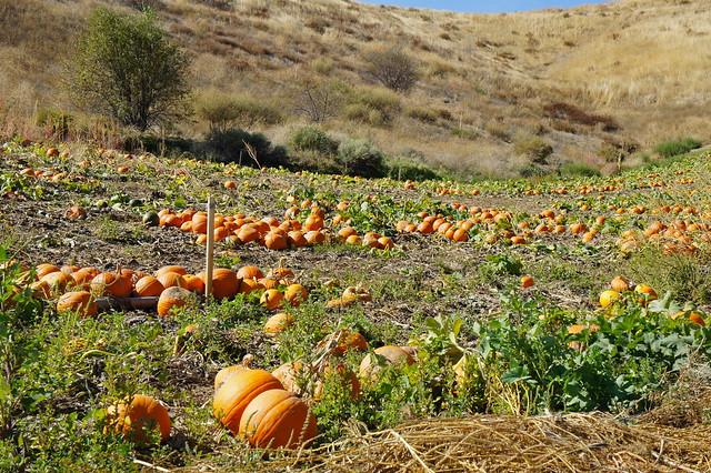 Pumpkin pattch 3