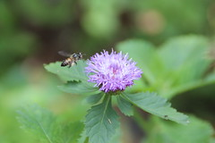 Lebah hingga bunga
