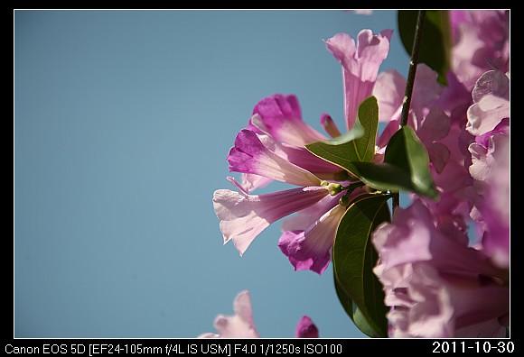 20111030F6蒜香藤