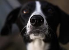 Jujube extraordinaire! (Sujit & Roz) Tags: portrait dog pet nose patsy bwdog closeupofnose