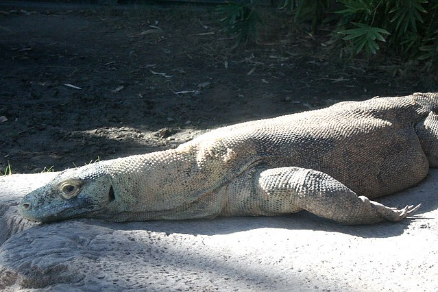 Komodo Dragon at the Phoenix Zoo