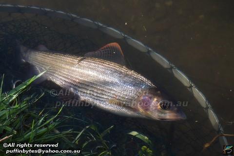 Grayling - Thymallus thymallus