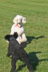 (Jean Arf) Tags: autumn dog ny newyork fall brighton poodle bailey doris standardpoodle 2011 meridianpark