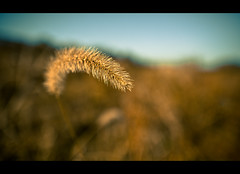 313:365 - Standing Out (andrewsulliv) Tags: nature gold wind bokeh naturallight 100mm november9 project365 project365313 3652011