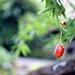 庭先の果実