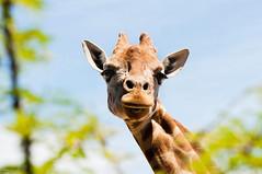 (danielle kiemel) Tags: cute animals tongue female zoo spring funny sydney australia nsw giraffe tarongazoo 111111 mosman 2011 zaraffa daniellekiemel