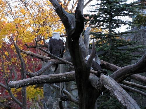 [315/365] Eagles in Autumn by goaliej54