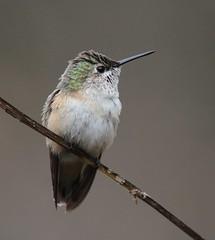Calliope Hummingbird, immature male (AllHarts) Tags: nature spac calliopehummingbird specanimal hollyspringsms awesomebirds alittlebeauty pogchallengewinnershalloffame pickyourart naturallywonderful stunninganimalsandbirds naturespotofgoldlevel1 5wonderwall birdsbirdsbirdsbirdsyougetthepoint