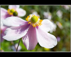 Japanese Anemone -- Explored (Corkneyfonz) Tags: pink summer white flower green yellow blossom centre petal anemone stamen pistol bloom pollen ranunculaceae isolated anther thegalaxy canonef1740mmf4l wonderfulworldofmacro mygearandme