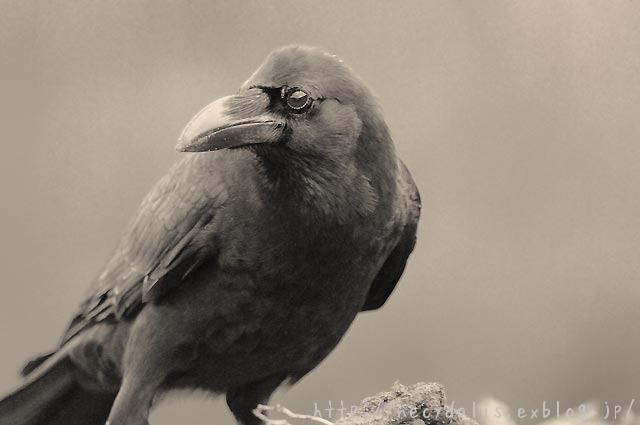 ハシブトガラス [Corvus macrorhynchos]