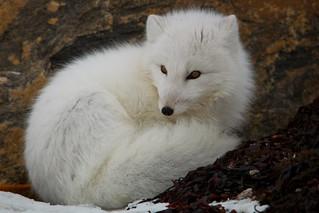 Arctic Fox  (Vulpes lagopus) 7745