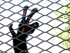 Free me!! (Mel s away..) Tags: animal zoo cage mel melinda macau gibbon  whitecheekedgibbon  whitecheeked chanmelmel
