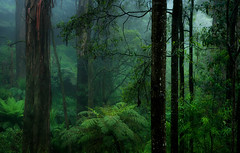 A Strong Place (Ranga 1) Tags: mist nature fog forest nikon rainforest australian australia melbourne victoria jungle ferns tremont treefern mountainash dandenongs dandenongranges gumtrees davidyoung treeferns flickraward afsnikkor50mm14g mygearandme