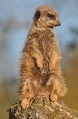 Meerkat (ukmjk) Tags: animals zoo meerkat nikon wildlife sigma marwell d7k 150500 d7000