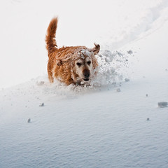 Looking forward to winter adventures - [Explored] (ice-cold photography) Tags: dog snow goldenretriever landscape happy iceland jumping hiking running adventure flickrfavourites lubbi wonter