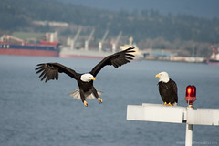 Bald eagles in the city (Zorro1968) Tags: birds vancouver pair baldeagle insidevancouver