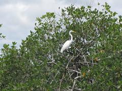 great white egret on the Temash