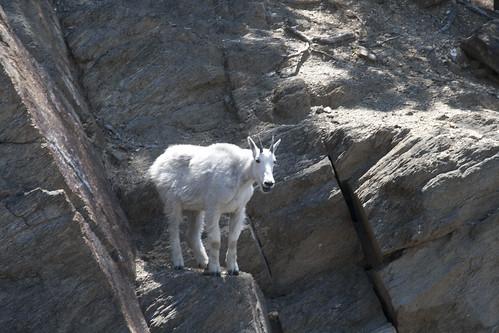 mount-rushmore-goat