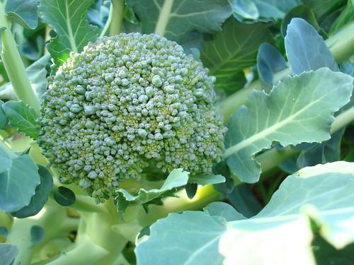 Chou brocolli