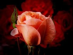 Queen Elizabeth (algo) Tags: pink red roses england orange garden interestingness topf50 chilterns topv999 topv222 explore alexander algo topf100 queenelizabeth 100f birdpoem 50f 110706 explore81 thechilternhills searchthebestnew