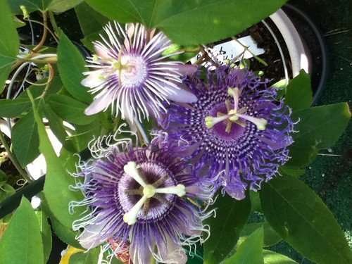 some of my passiflora - Page 2 6212066671_1083271550