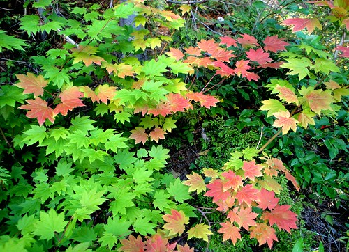 Vine maples pass Snoqualmie