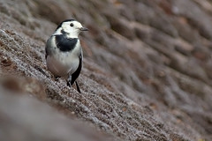 Pied Wagtail (Feathers (Joe)) Tags: wild food bird nature shop sussex feathers east area care pied wagtail salehurst