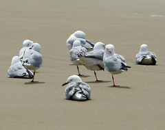 """Seagulls showing a leg • <a style=""""font-size:0.8em;"""" href=""""http://www.flickr.com/photos/36398778@N08/6222703332/"""" target=""""_blank"""">View on Flickr</a>"""