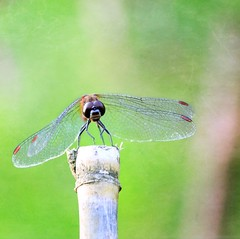 Face to face (tanakawho) Tags: red eye texture nature animal insect dof mechanical dragonfly bokeh leg wing spot squareformat layer creature postproduction treatment tanakawho skeletalmess