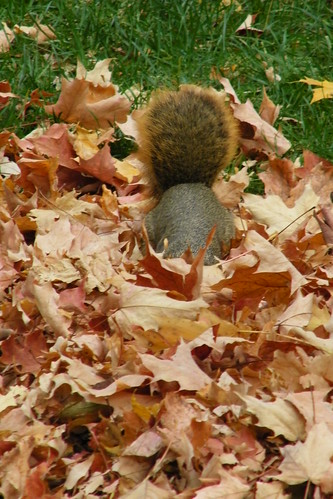 Squirrels at the University of Michigan in Autumn