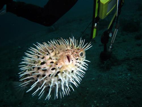 ハリセンボン (Porcupinefish)