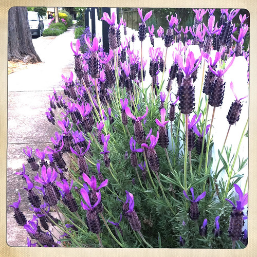 Lavender. Day 321/365.