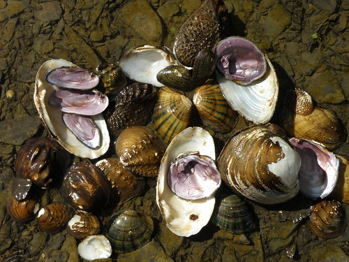 Freshwater mussel colors