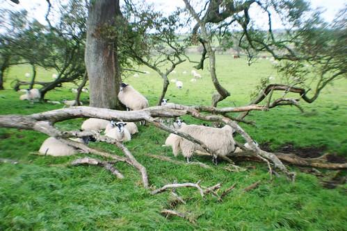 Sheep on Hadrian's Wall Path