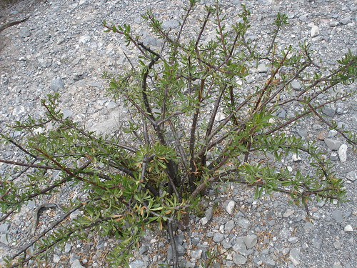 Jatropha dioica