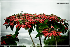 Warm heart in a cold world (Vinu Thankachan) Tags: autumn red mist cold nature leaves fog nice nikon warm heart kerala redleaves munnar redtree redlove niceflower wolrd warmheart rednature coldnature d3100 nikiond3100 warmheartinacoldworld