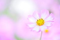 Kindly Face (*Sakura*) Tags: pink autumn flower macro nature japan tokyo  sakura     cosmosflower